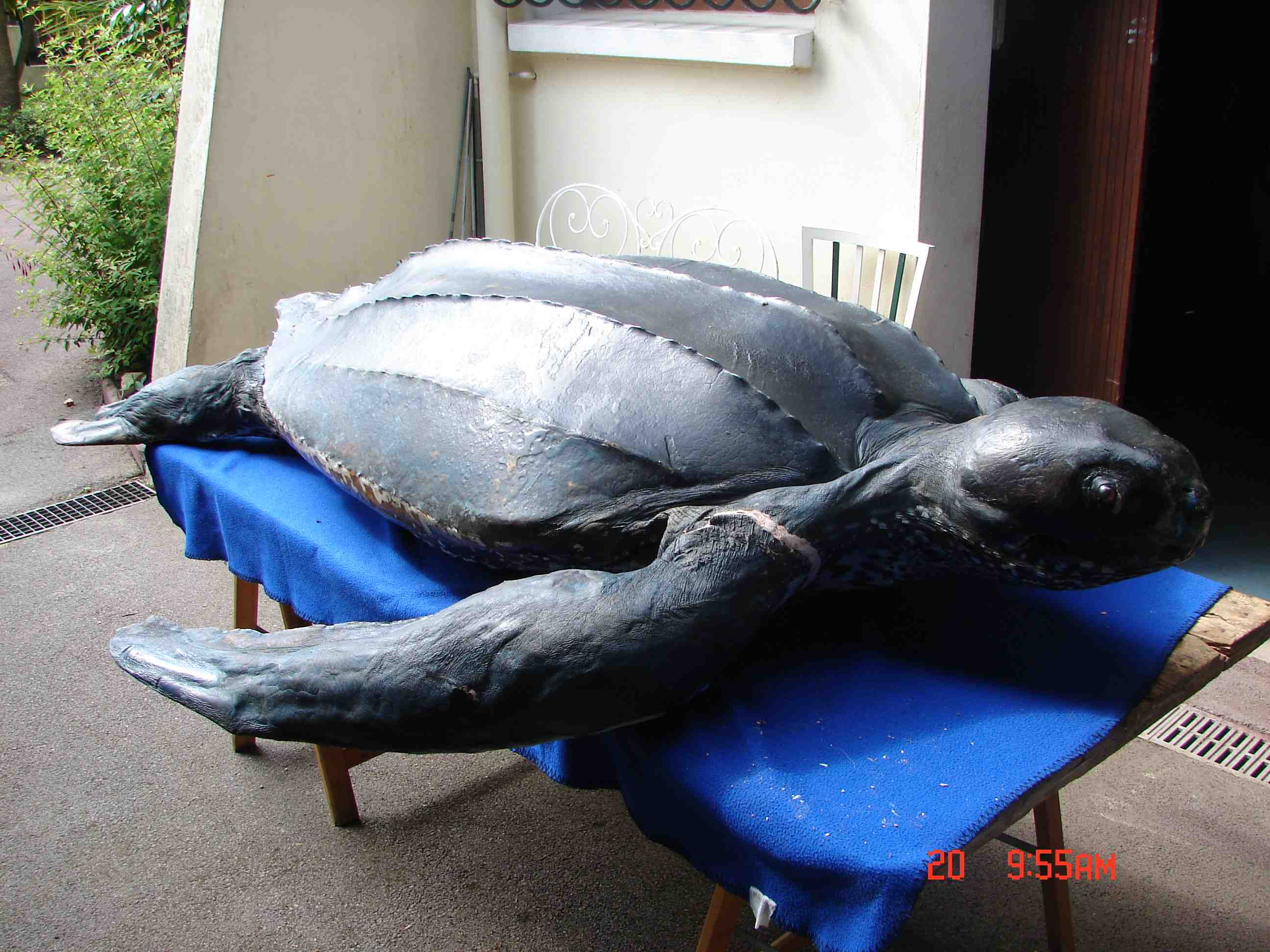 Naturalisation tortue luth 2010